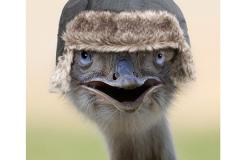 Ostrich-4